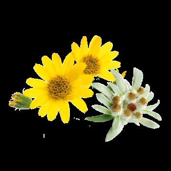arnica montana edelweiss